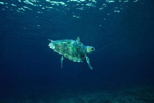 tortuga Caretta caretta, autor imagen Enric Ballesteros-CEAB-CSIC