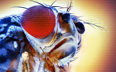 El proyecto de ciencia ciudadana Melanogaster: Catch the Fly! amplía sus actividades a nuevos públicos con Code the Fly