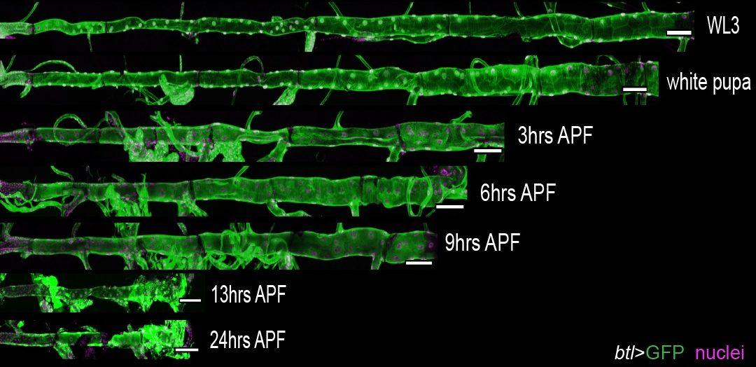Investigadores del IBMB-CSIC estudian cómo se desmantelan órganos en la transformación de larva a organismo adulto